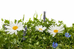 Daisy meadow Stock Photo