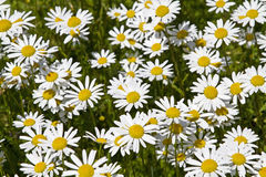 Daisy Meadow Royalty Free Stock Photos