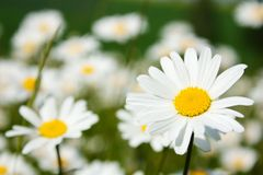 Daisy on meadow Royalty Free Stock Images