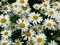 Daisy meadow Stock Image