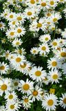 Daisy meadow Royalty Free Stock Photography