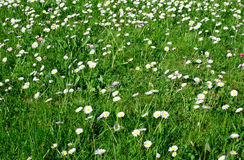 Daisy meadow. Meadow with many daisy flowers Stock Photography