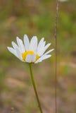 Daisy Meadow Immagine Stock