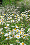 Daisy Meadow Stock Fotografie