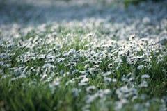 Daisy Meadow Imagenes de archivo
