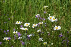 Daisy on the meadow, abstract natural backgrounds for your design Stock Images