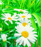 Daisy on a meadow Stock Images