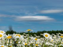 daisy meadow beatiful summer day stock photos