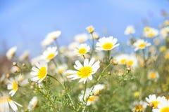 Daisy Meadow. On blue sky stock photo