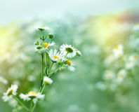 Daisy in meadow - close up Royalty Free Stock Photos