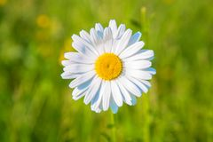 Daisy on the meadow closeup. Macro shot. Daisy on the meadow closeup. Summer floral background. Bright white and yellow camomile daisy flower, summer and sun royalty free stock images