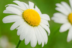 Daisy on a meadow Royalty Free Stock Photography