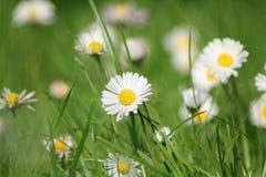 Daisy meadow Stock Photography
