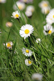 Daisy meadow Stock Photos