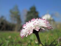 Daisy meadow Royalty Free Stock Photography