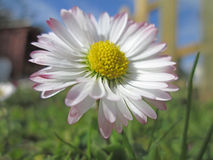 Daisy meadow in macro. Two daisy meadow in the grass Stock Photo