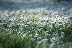 Daisy meadow. Meadow with daisy selective focus stock images