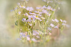 Daisy in meadow (spring daisy) Royalty Free Stock Images