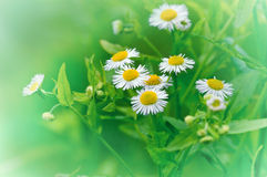 Daisy in a meadow - spring daisy Stock Image