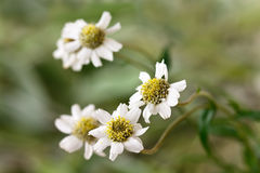 Daisy Meadow - spring-like background Royalty Free Stock Photography