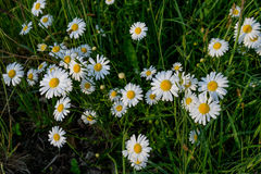 Daisy. On a meadow in summer Stock Photo