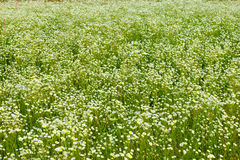 Daisy meadow in summer day Royalty Free Stock Images