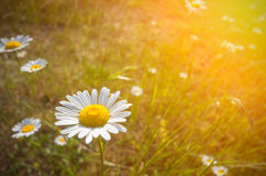 Daisy on a meadow and the sun Royalty Free Stock Photo