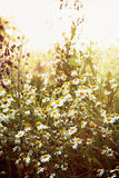 Daisy meadow in sunset Royalty Free Stock Image