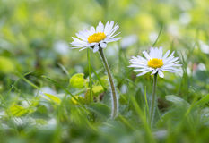 Daisy in the meadow. Two Daisy in the meadow under the light of a spring sun Stock Photos