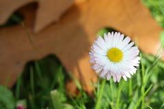 Daisy met de herfstachtergrond Stock Afbeeldingen