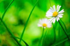 Daisy met groene grasachtergrond Stock Foto