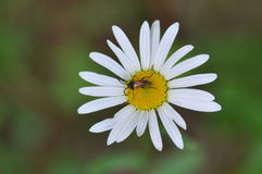 Daisy met insect royalty-vrije stock foto's