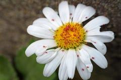Daisy met rode insecten Royalty-vrije Stock Foto's