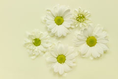 Daisy in milk Royalty Free Stock Photo
