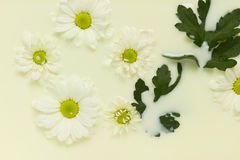 Daisy in milk Stock Image