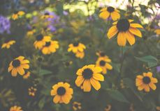 Daisy Moodscape amarela fotos de stock