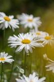 Daisy. Moonflower, marguerite Stock Photo