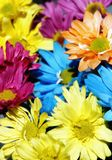 Daisy Multicolor Background #2. Colorful arrangement of daisy flowers in sunshine (shallow focus stock photography