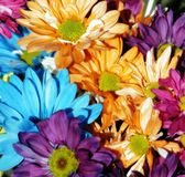 Daisy Multicolor Background #3. Colorful arrangement of daisy flowers in sunshine (shallow focus royalty free stock photo