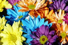 Daisy Multicolor Background. Colorful arrangement of daisy flowers in sunshine (shallow focus royalty free stock images