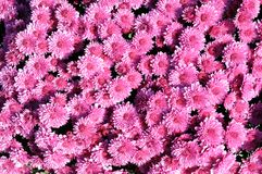 Daisy mum flower Royalty Free Stock Photography