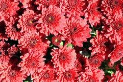 Daisy mum flower Stock Image