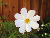 Daisy In My Garden royalty free stock photo