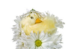 Daisy Nest Stock Photos