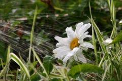 daisy ogród Obrazy Royalty Free