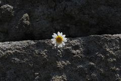 A daisy between the old stones stock photo