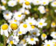 Daisy. One daisy in focus on a cheerful daisies background Royalty Free Stock Photography