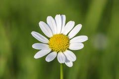 Flower of the daisy, Bellis perennis , Bavaria, Germany, Europe stock image