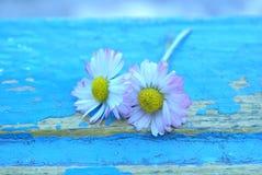 Daisy op blauw Stock Afbeelding