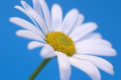 Daisy op blauw Royalty-vrije Stock Afbeelding